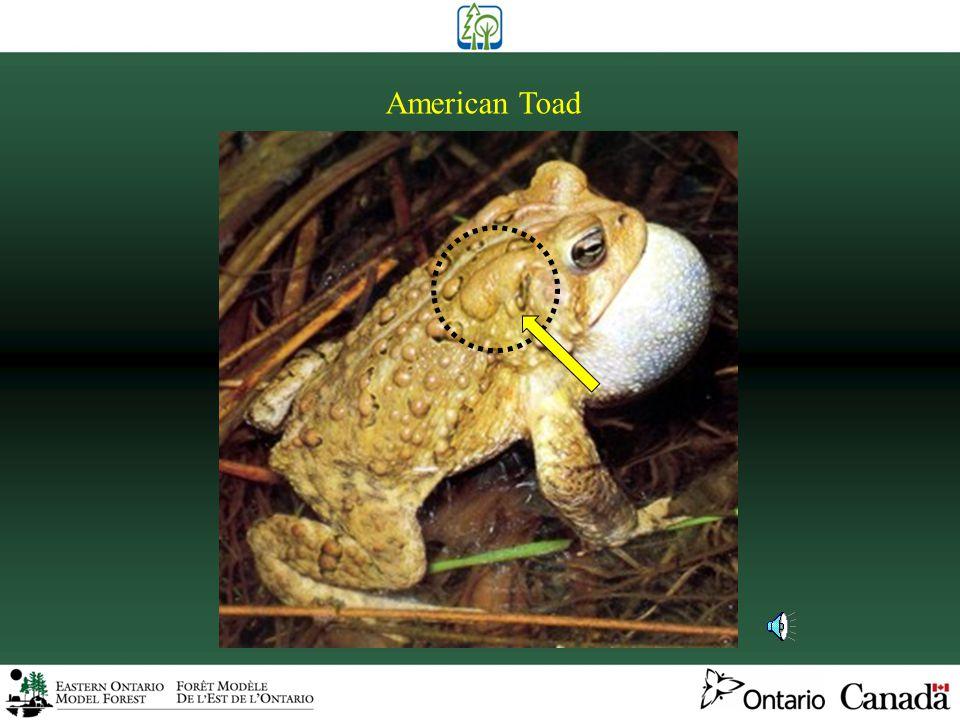 Toads (1 species)