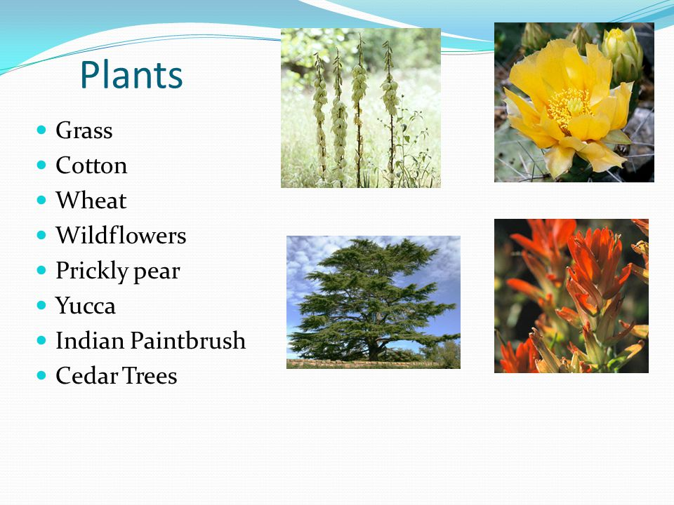 Plants Grass Cotton Wheat Wildflowers Prickly pear Yucca Indian Paintbrush Cedar Trees