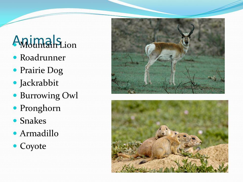 Animals Mountain Lion Roadrunner Prairie Dog Jackrabbit Burrowing Owl Pronghorn Snakes Armadillo Coyote