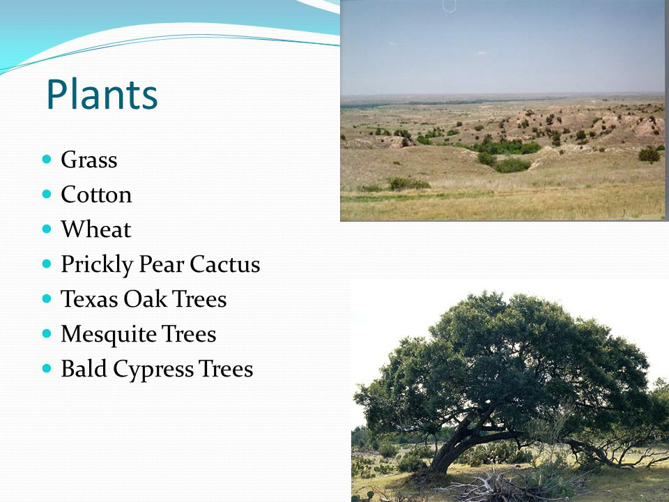 Plants Grass Cotton Wheat Prickly Pear Cactus Texas Oak Trees Mesquite Trees Bald Cypress Trees