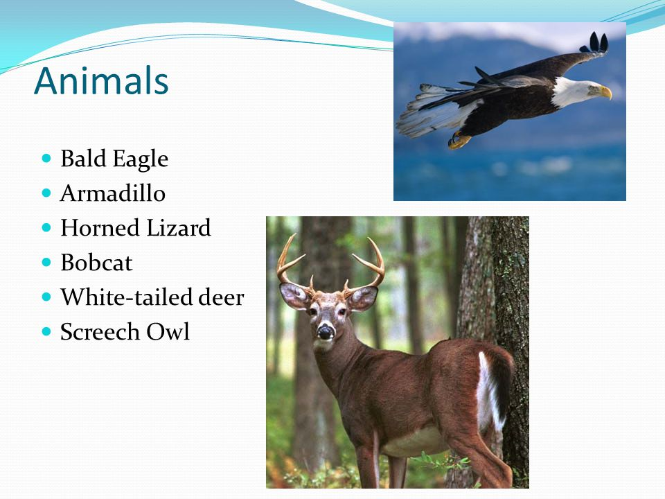 Animals Bald Eagle Armadillo Horned Lizard Bobcat White-tailed deer Screech Owl