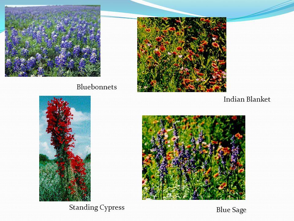 Indian Blanket Blue Sage Standing Cypress Bluebonnets