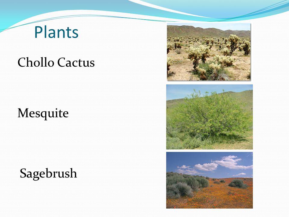 Plants Chollo Cactus Mesquite Sagebrush
