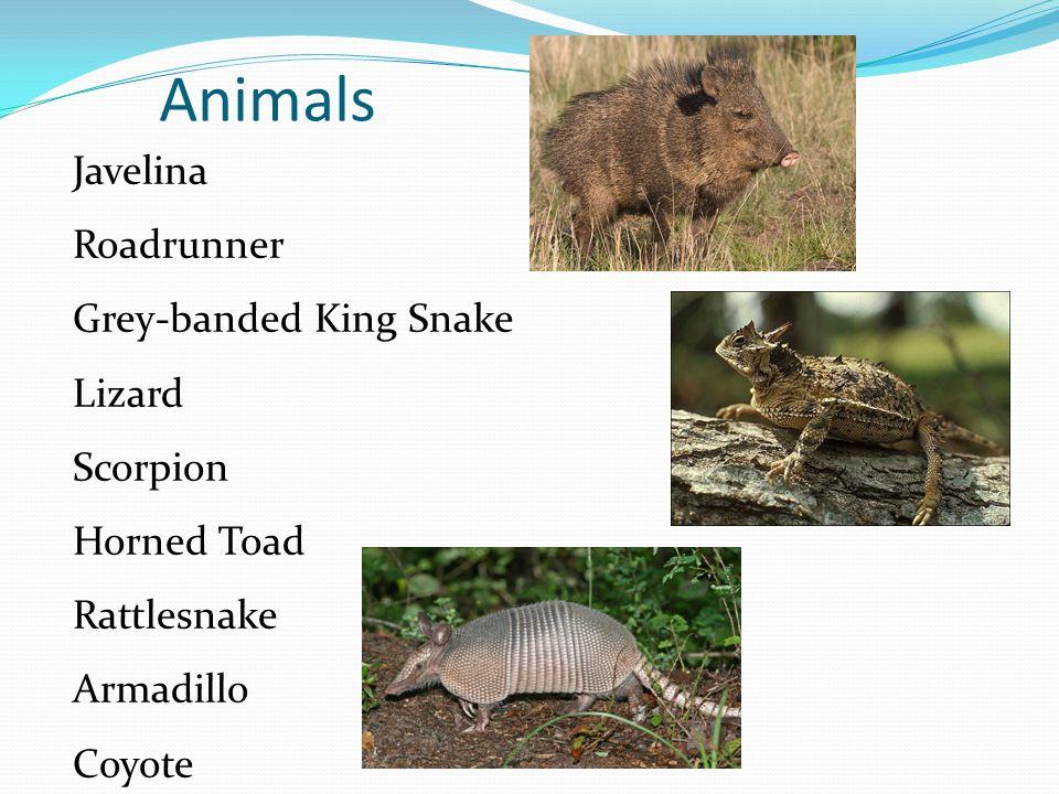Animals Javelina Roadrunner Grey-banded King Snake Lizard Scorpion Horned Toad Rattlesnake Armadillo Coyote