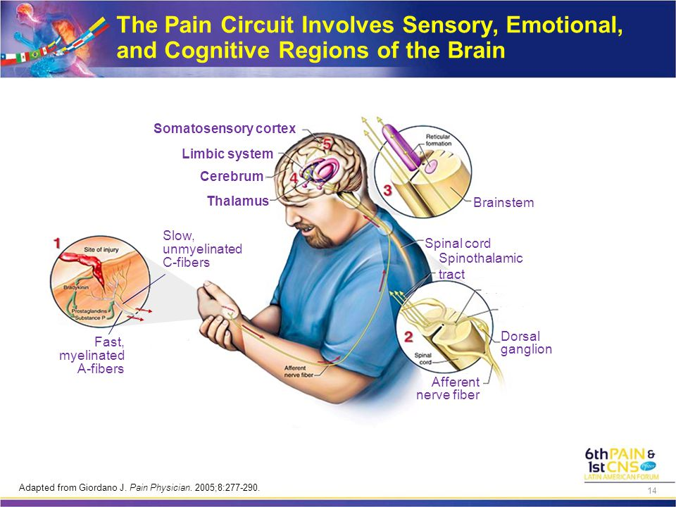 The Pain Circuit Involves Sensory, Emotional, and Cognitive Regions of the Brain Fast, myelinated A-fibers Slow, unmyelinated C-fibers Somatosensory cortex Thalamus Limbic system Cerebrum Brainstem Spinal cord Spinothalamic tract Dorsal ganglion Afferent nerve fiber Adapted from Giordano J.