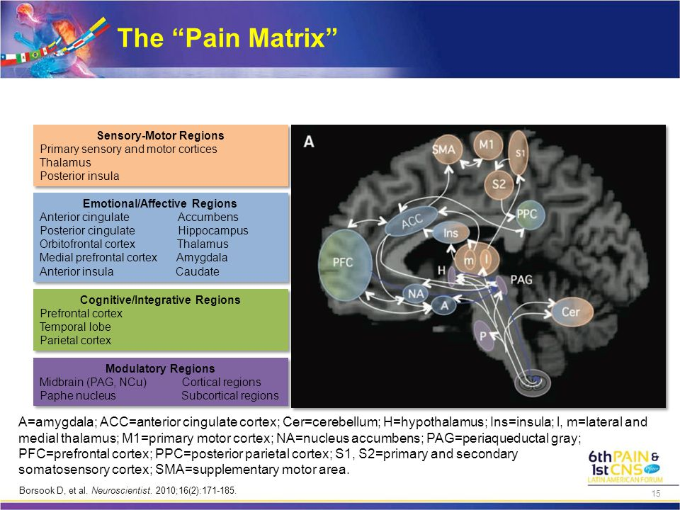 "The ""Pain Matrix"" A=amygdala; ACC=anterior cingulate cortex; Cer=cerebellum; H=hypothalamus; Ins=insula; l, m=lateral and medial thalamus; M1=primary"