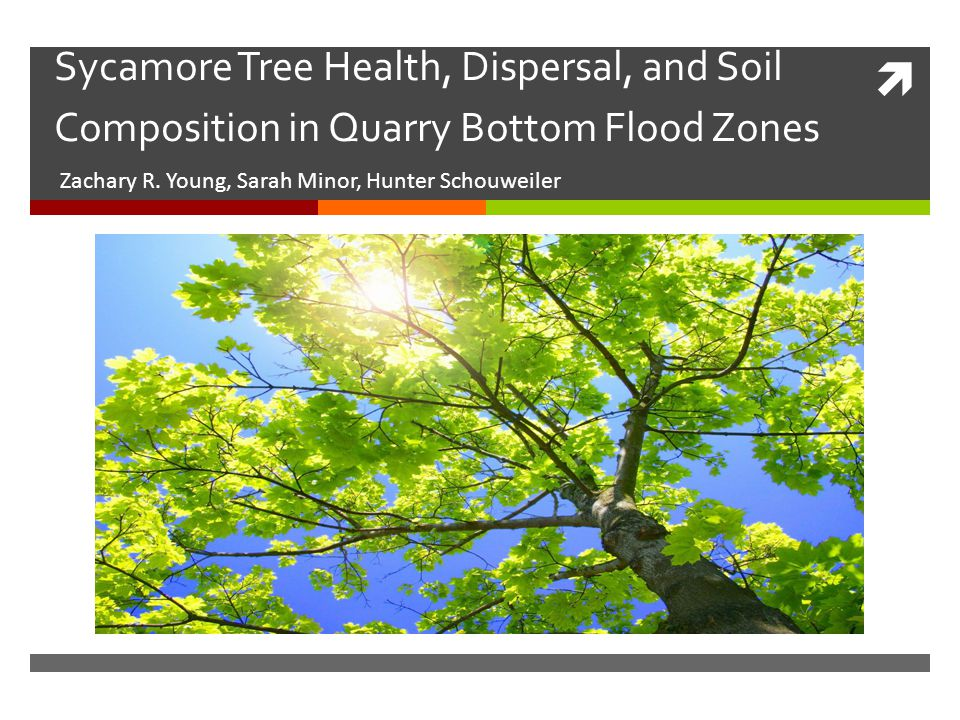  Sycamore Tree Health, Dispersal, and Soil Composition in Quarry Bottom Flood Zones Zachary R.