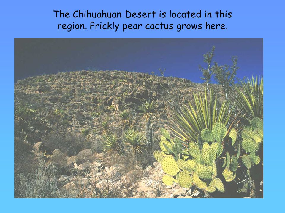 The Chihuahuan Desert is located in this region. Prickly pear cactus grows here.