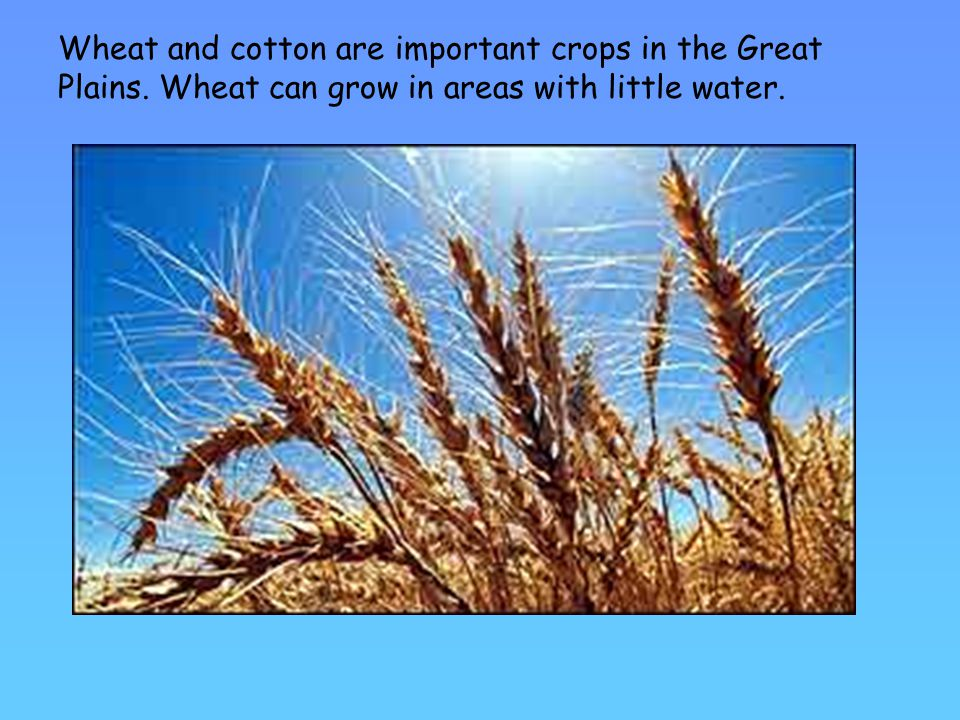 Wheat and cotton are important crops in the Great Plains.