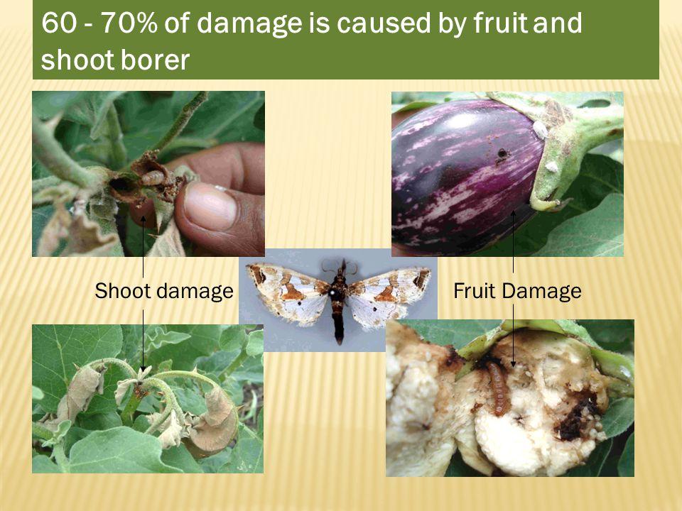 Shoot damage Fruit Damage 60 - 70% of damage is caused by fruit and shoot borer