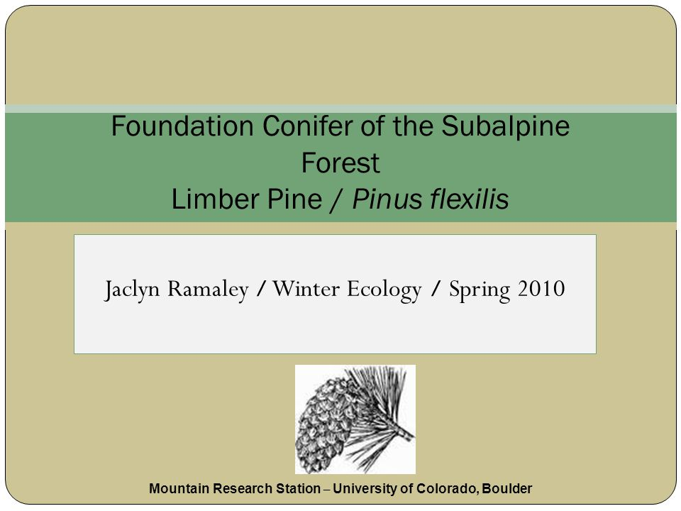 Jaclyn Ramaley / Winter Ecology / Spring 2010 Foundation Conifer of the Subalpine Forest Limber Pine / Pinus flexilis Mountain Research Station – University of Colorado, Boulder