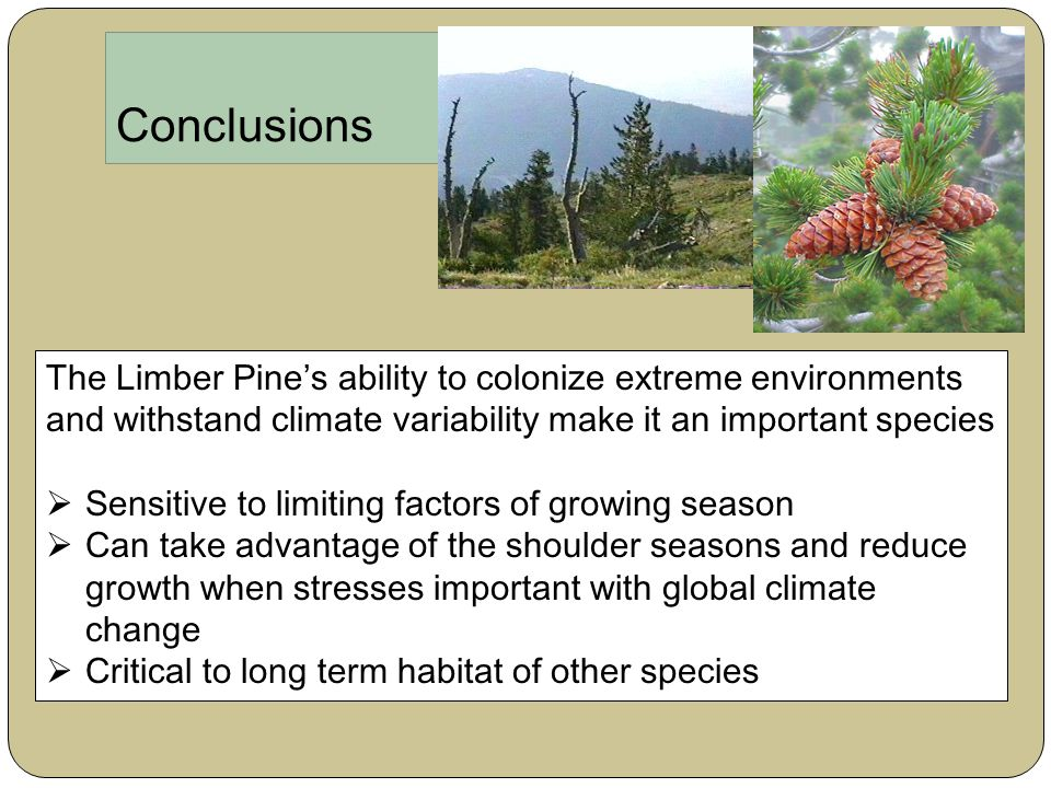 Conclusions The Limber Pine's ability to colonize extreme environments and withstand climate variability make it an important species  Sensitive to limiting factors of growing season  Can take advantage of the shoulder seasons and reduce growth when stresses important with global climate change  Critical to long term habitat of other species