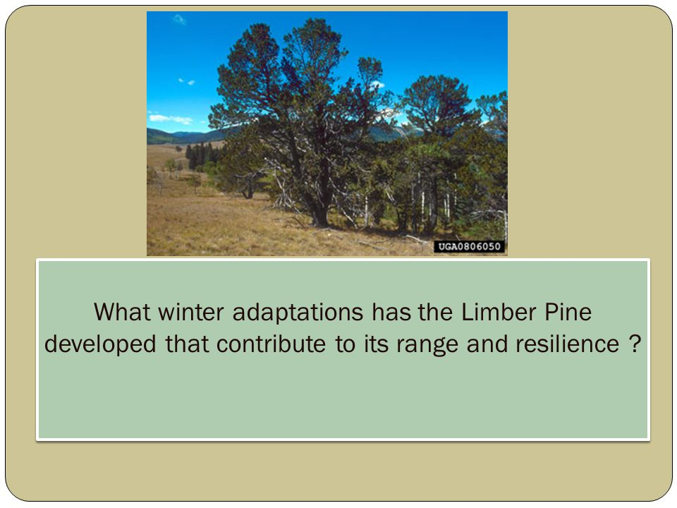 Limber Pine's Evolution Dominate dry, exposed, rocky sites Elevation range from 1524m to 3658m Latitudinal from 33N to 51N Longevity - over 1500 years old* Co-occupy with other conifers  Ponderosa pine, Lodge pole pine, Subalpine Fur, Engelmann spruce Dispersal primarily by Clark's Nutcracker  Trees grow in clusters or signally, considered genetic generalists * W.F.