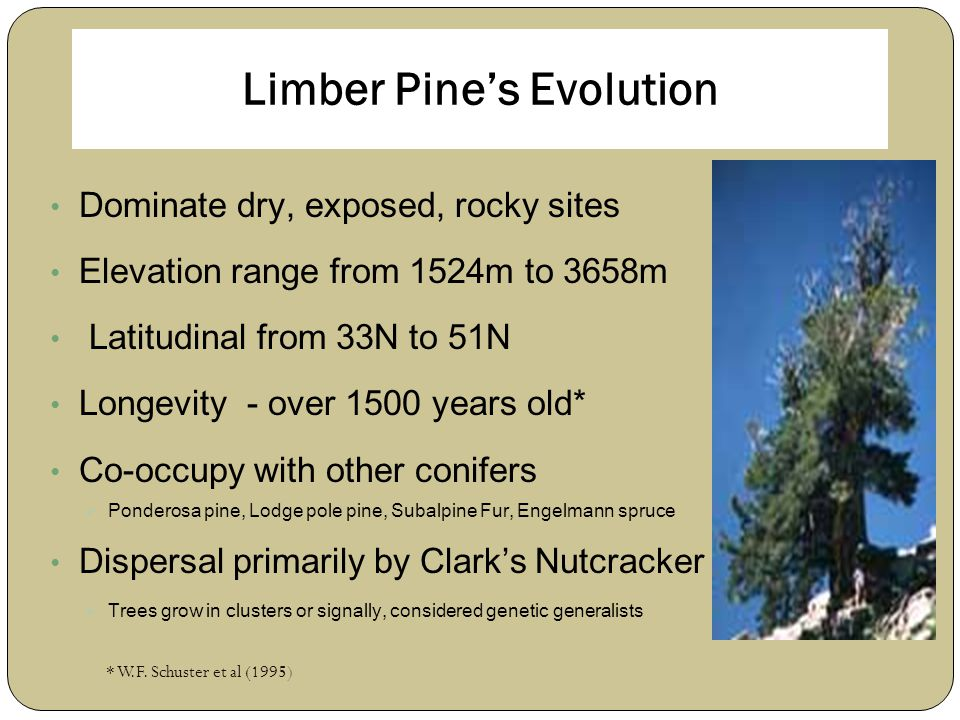 Limber Pine's Evolution Dominate dry, exposed, rocky sites Elevation range from 1524m to 3658m Latitudinal from 33N to 51N Longevity - over 1500 years old* Co-occupy with other conifers  Ponderosa pine, Lodge pole pine, Subalpine Fur, Engelmann spruce Dispersal primarily by Clark's Nutcracker  Trees grow in clusters or signally, considered genetic generalists * W.F.