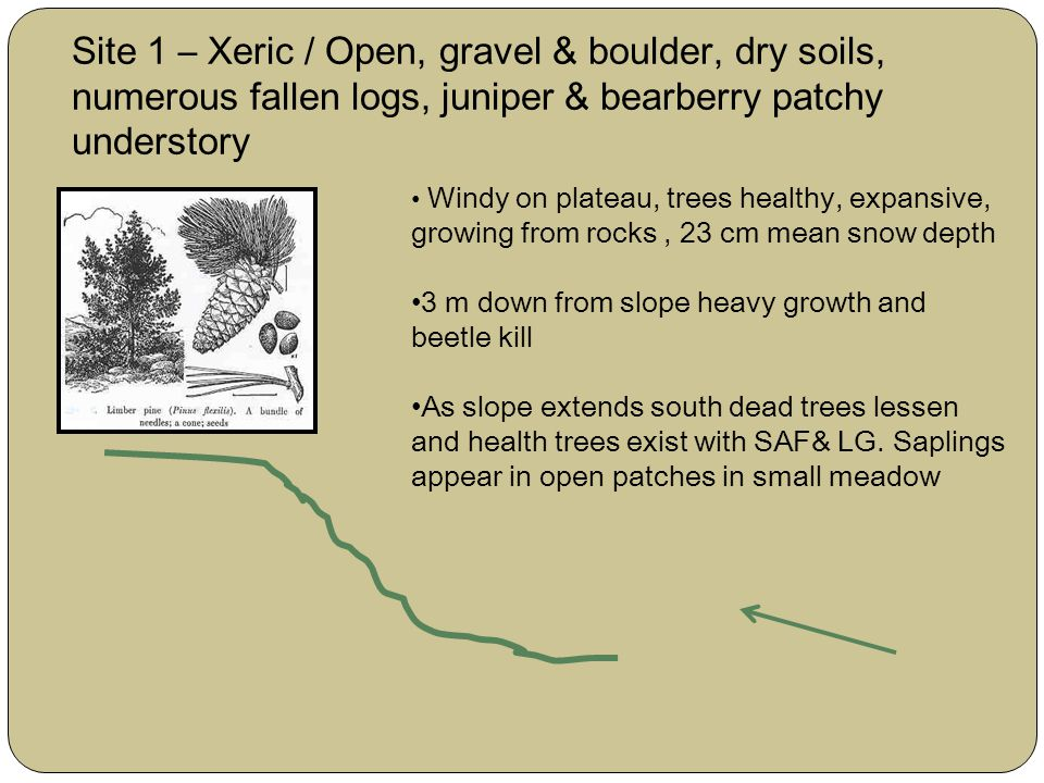 Site 1 – Xeric / Open, gravel & boulder, dry soils, numerous fallen logs, juniper & bearberry patchy understory Windy on plateau, trees healthy, expansive, growing from rocks, 23 cm mean snow depth 3 m down from slope heavy growth and beetle kill As slope extends south dead trees lessen and health trees exist with SAF& LG.
