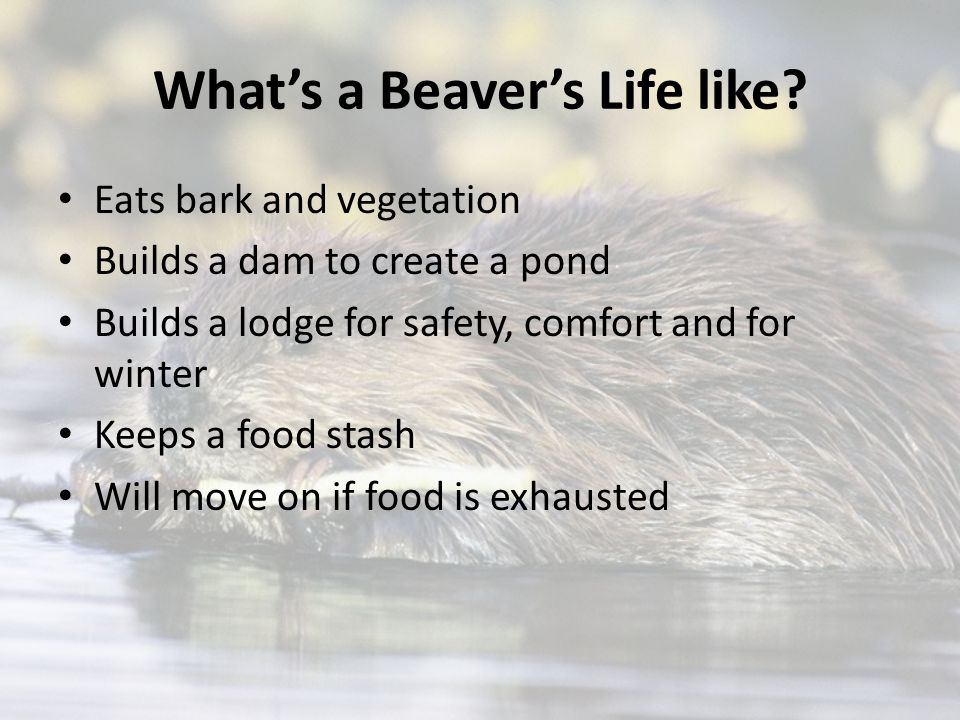 What's a Beaver's Life like.