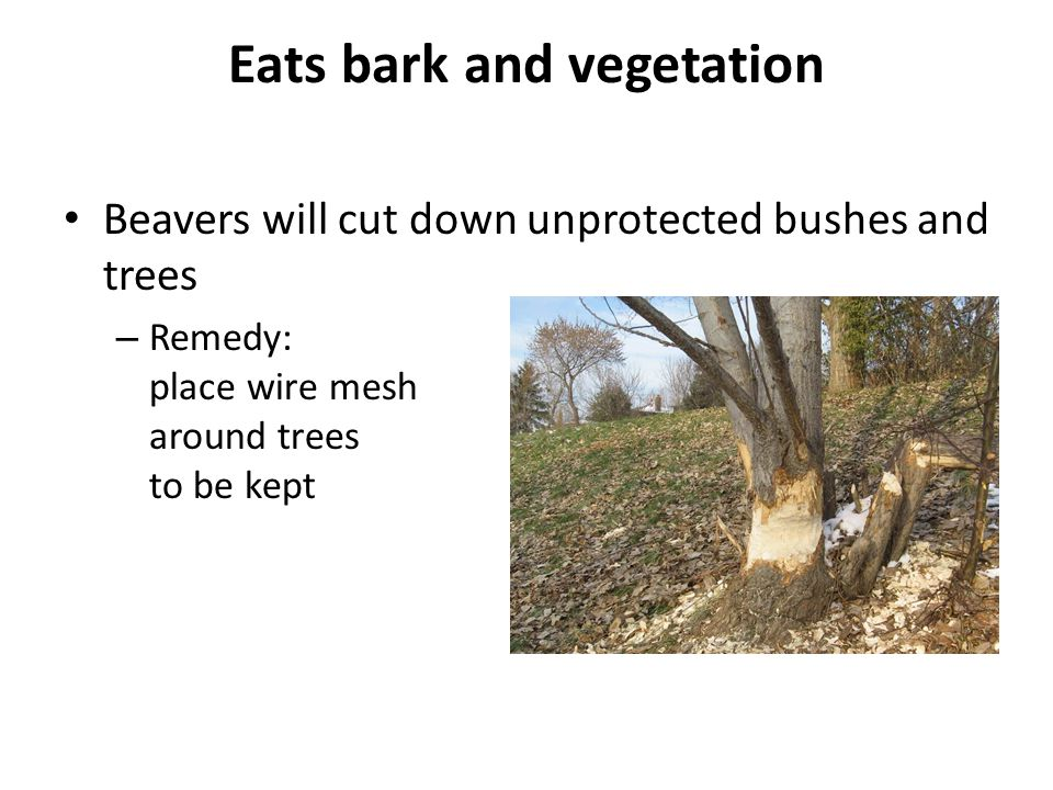 Eats bark and vegetation Beavers will cut down unprotected bushes and trees – Remedy: place wire mesh around trees to be kept