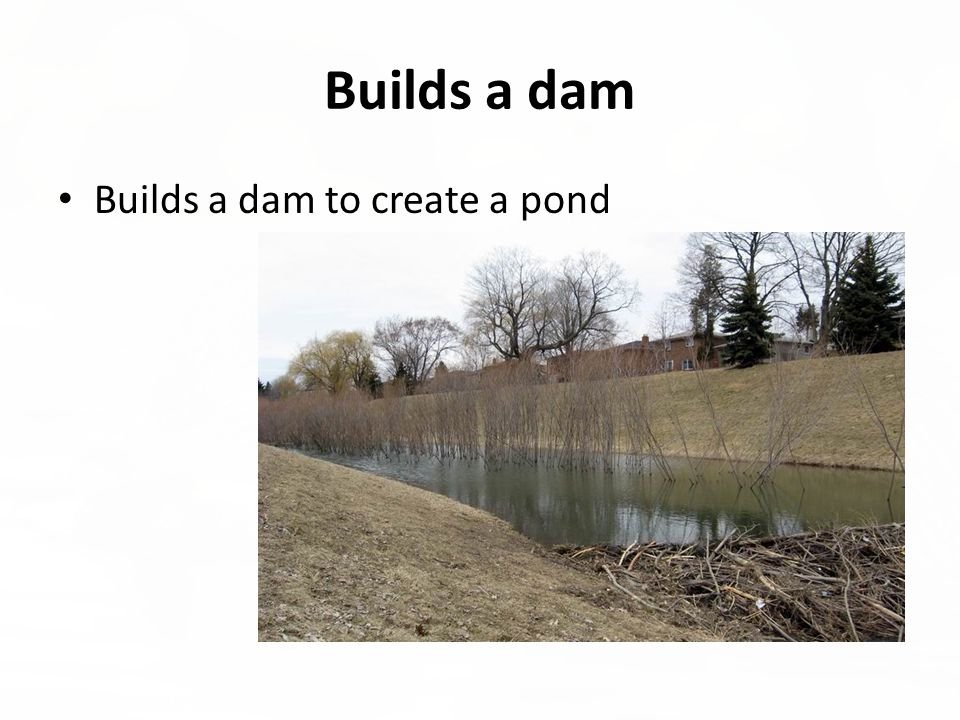 Builds a dam Builds a dam to create a pond