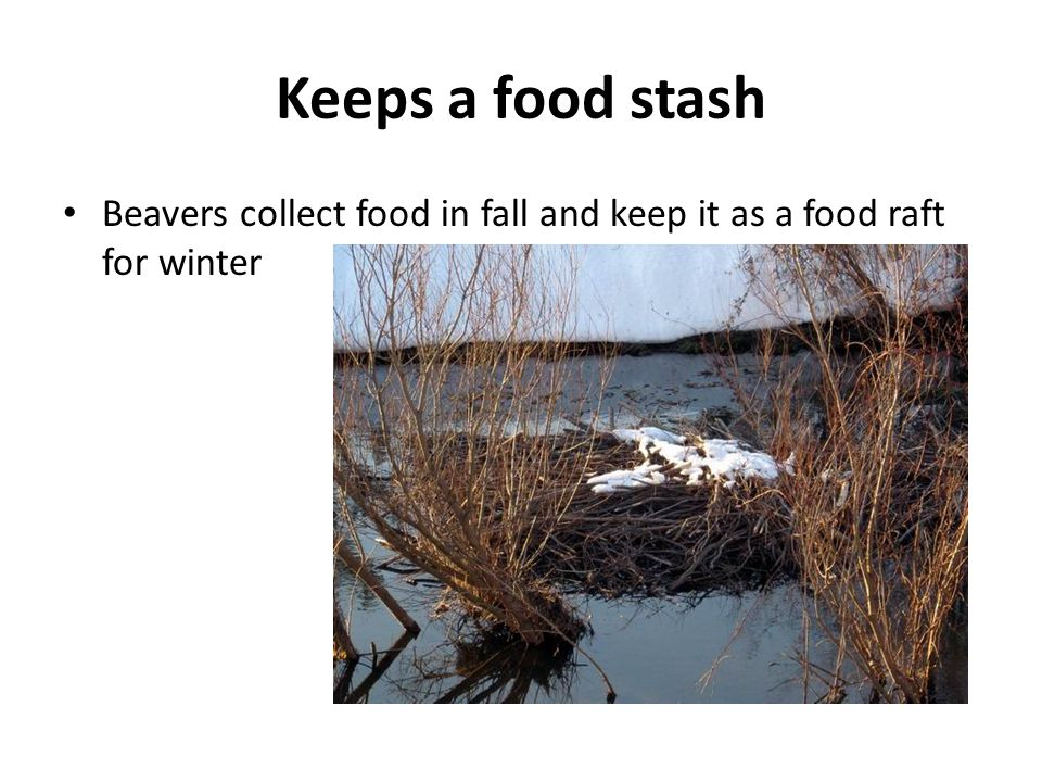 Keeps a food stash Beavers collect food in fall and keep it as a food raft for winter