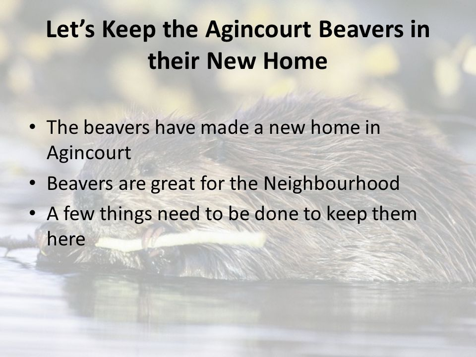 Let's Keep the Agincourt Beavers in their New Home The beavers have made a new home in Agincourt Beavers are great for the Neighbourhood A few things need to be done to keep them here