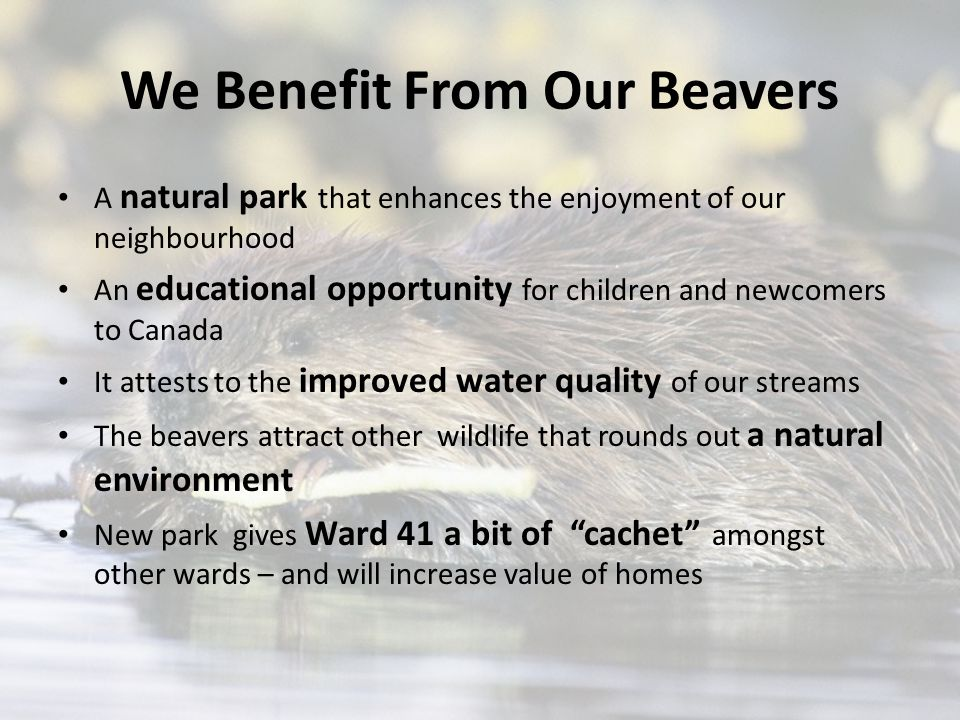 We Benefit From Our Beavers A natural park that enhances the enjoyment of our neighbourhood An educational opportunity for children and newcomers to Canada It attests to the improved water quality of our streams The beavers attract other wildlife that rounds out a natural environment New park gives Ward 41 a bit of cachet amongst other wards – and will increase value of homes
