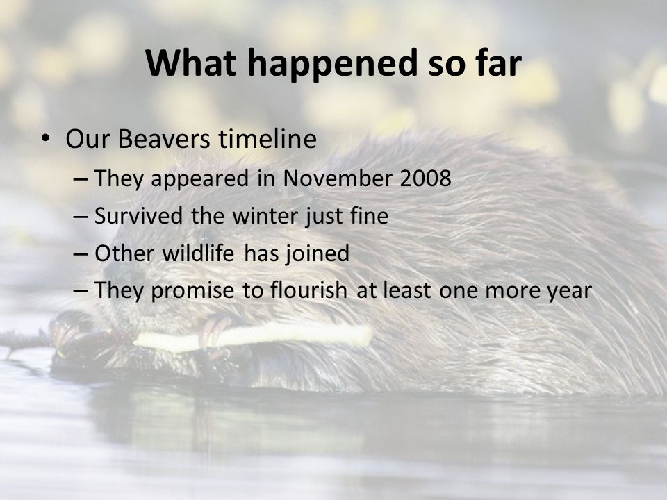 What happened so far Our Beavers timeline – They appeared in November 2008 – Survived the winter just fine – Other wildlife has joined – They promise to flourish at least one more year