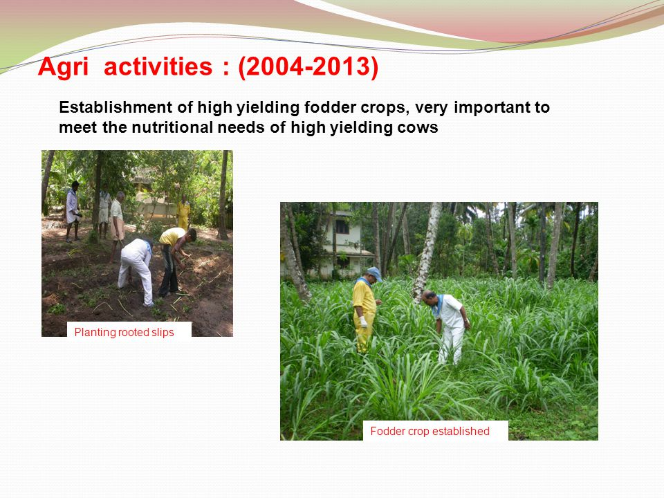 Agri activities : (2004-2013) Establishment of high yielding fodder crops, very important to meet the nutritional needs of high yielding cows Planting rooted slips Fodder crop established