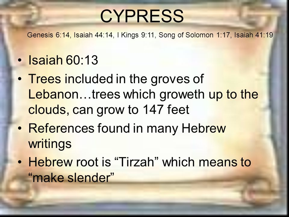 CYPRESS Isaiah 60:13 Trees included in the groves of Lebanon…trees which groweth up to the clouds, can grow to 147 feet References found in many Hebrew writings Hebrew root is Tirzah which means to make slender Genesis 6:14, Isaiah 44:14, I Kings 9:11, Song of Solomon 1:17, Isaiah 41:19