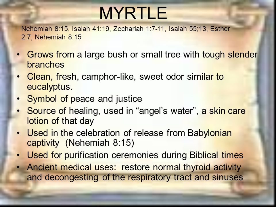 MYRTLE Grows from a large bush or small tree with tough slender branches Clean, fresh, camphor-like, sweet odor similar to eucalyptus.