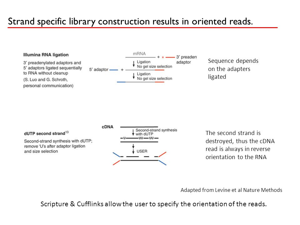 Strand specific library construction results in oriented reads. Sequence depends on the adapters ligated The second strand is destroyed, thus the cDNA