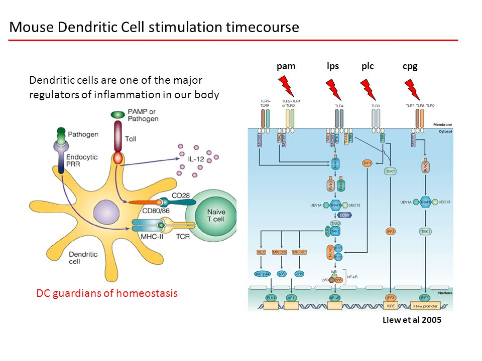 Dendritic cells are one of the major regulators of inflammation in our body DC guardians of homeostasis pamlpspiccpg Liew et al 2005 Mouse Dendritic C