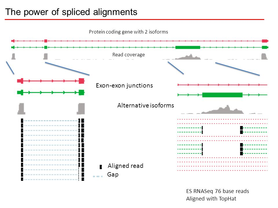 Exon-exon junctions Alternative isoforms ES RNASeq 76 base reads Aligned with TopHat Aligned read Gap Protein coding gene with 2 isoforms Read coverag