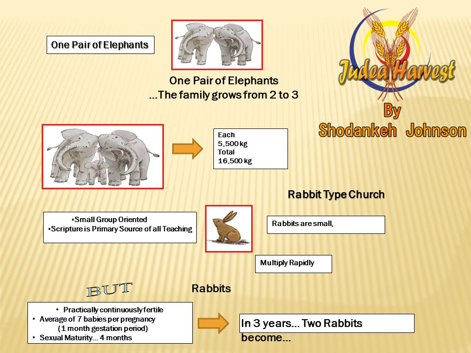 One Pair of Elephants …The family grows from 2 to 3 Each 5,500 kg Total 16,500 kg Rabbit Type Church Small Group Oriented Scripture is Primary Source of all Teaching Rabbits are small, Rabbits Multiply Rapidly Practically continuously fertile Average of 7 babies per pregnancy (1 month gestation period) Sexual Maturity… 4 months … In 3 years… Two Rabbits become…