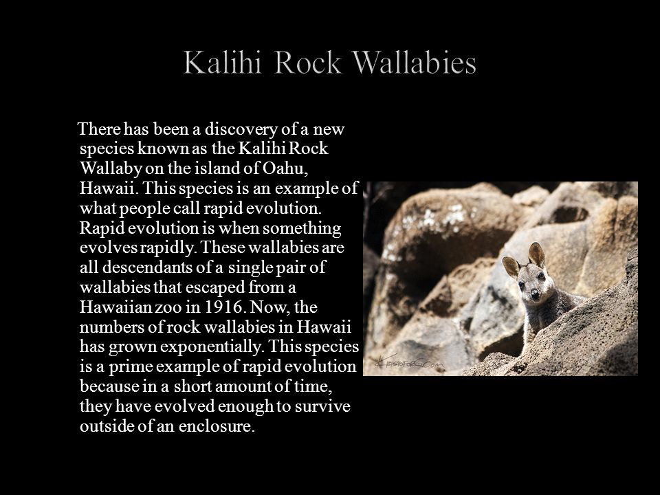 There has been a discovery of a new species known as the Kalihi Rock Wallaby on the island of Oahu, Hawaii.