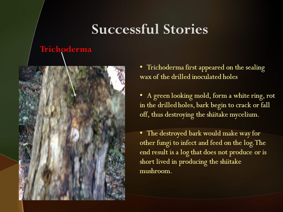 Successful Stories Trichoderma Trichoderma first appeared on the sealing wax of the drilled inoculated holes A green looking mold, form a white ring, rot in the drilled holes, bark begin to crack or fall off, thus destroying the shiitake mycelium.