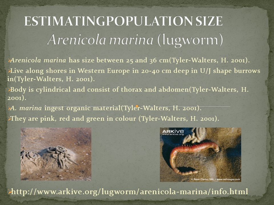  Arenicola marina has size between 25 and 36 cm(Tyler-Walters, H.