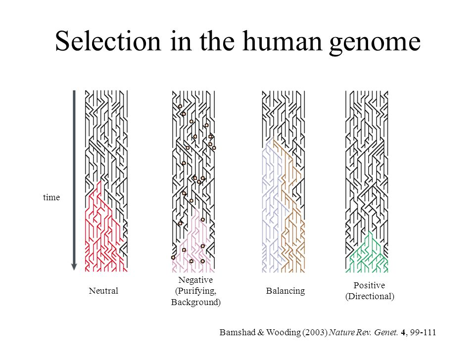 Selection in the human genome time Neutral Negative (Purifying, Background) Balancing Positive (Directional) Bamshad & Wooding (2003) Nature Rev. Gene