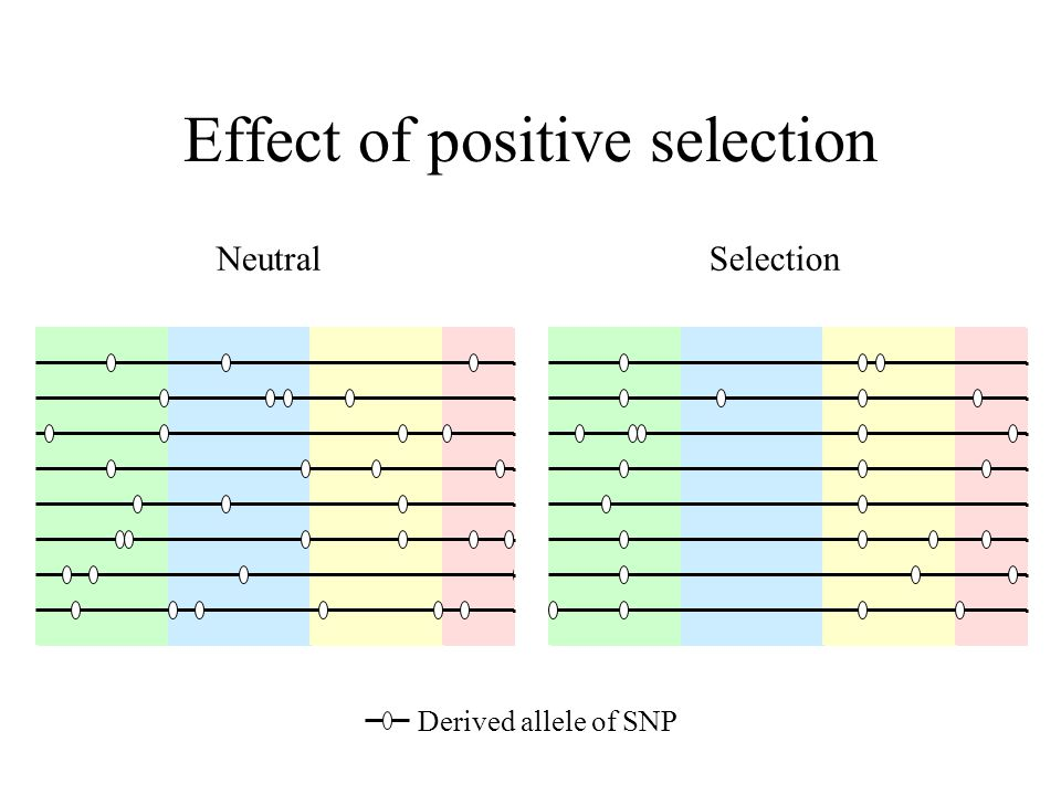 NeutralSelection Derived allele of SNP Effect of positive selection