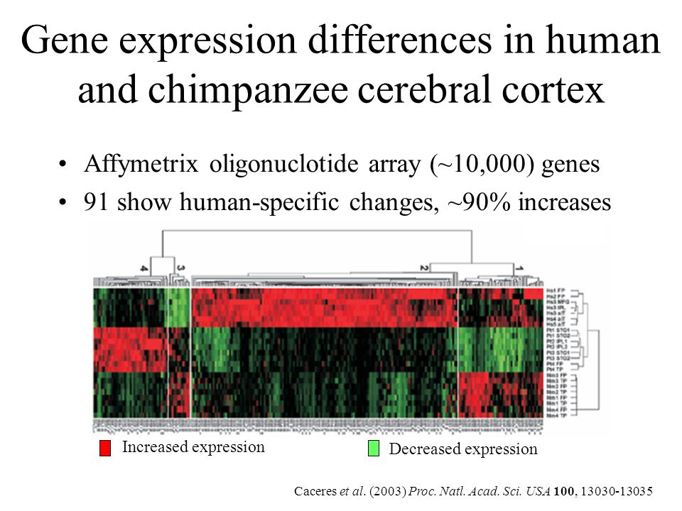 Gene expression differences in human and chimpanzee cerebral cortex Increased expression Decreased expression Caceres et al. (2003) Proc. Natl. Acad.