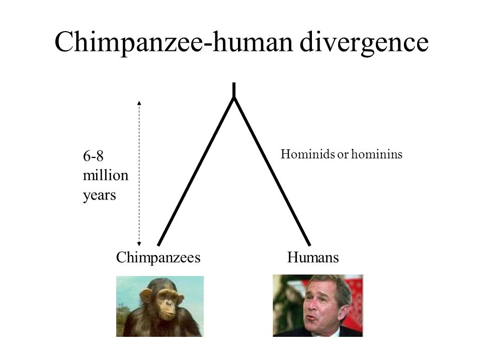 Origins of hominids Sahelanthropus tchadensis Chad (Central Africa) Dated to 6 – 7 million years ago Posture uncertain, but slightly later hominids were bipedal 'Toumai', Chad, 6-7 MYA Brunet et al.