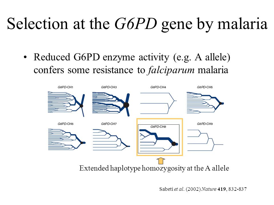 Selection at the G6PD gene by malaria Reduced G6PD enzyme activity (e.g. A allele) confers some resistance to falciparum malaria Extended haplotype ho