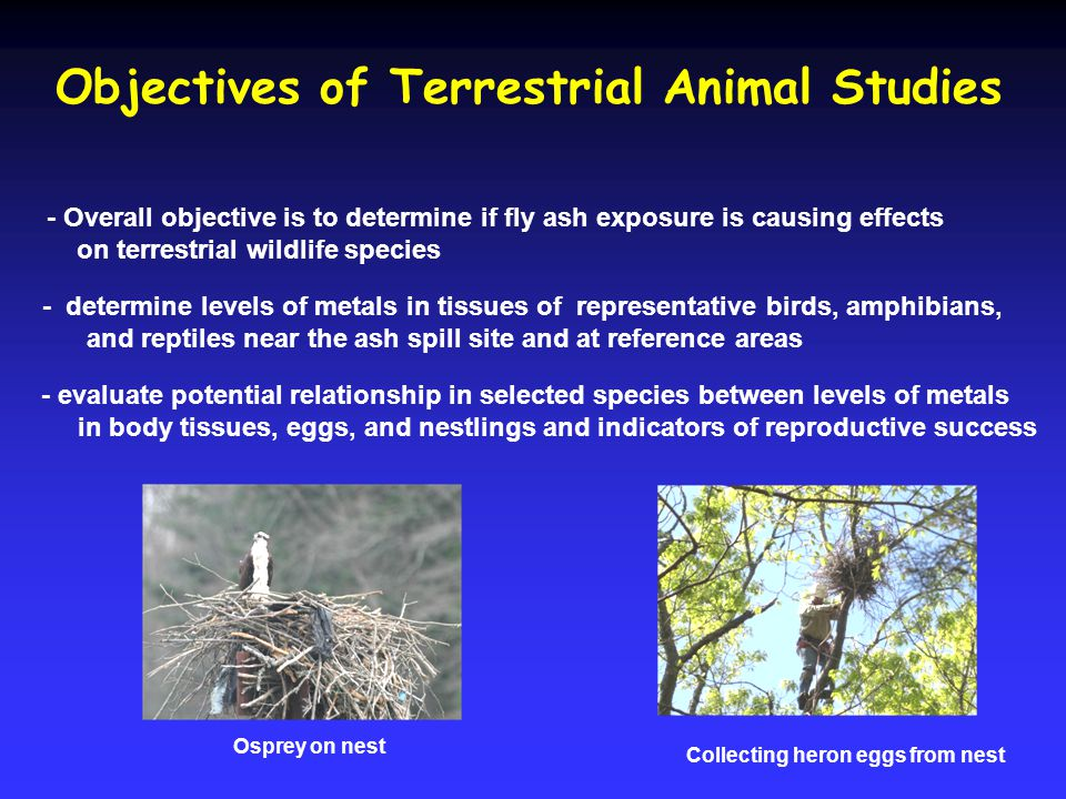 Objectives of Terrestrial Animal Studies - determine levels of metals in tissues of representative birds, amphibians, and reptiles near the ash spill