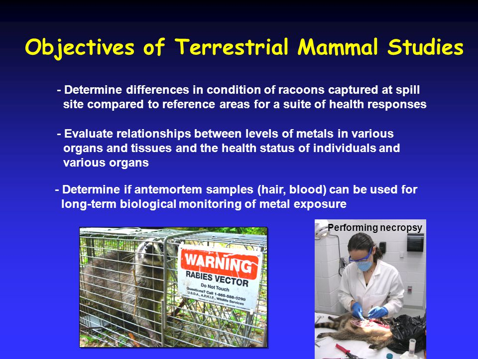 Objectives of Terrestrial Mammal Studies - Determine differences in condition of racoons captured at spill site compared to reference areas for a suit