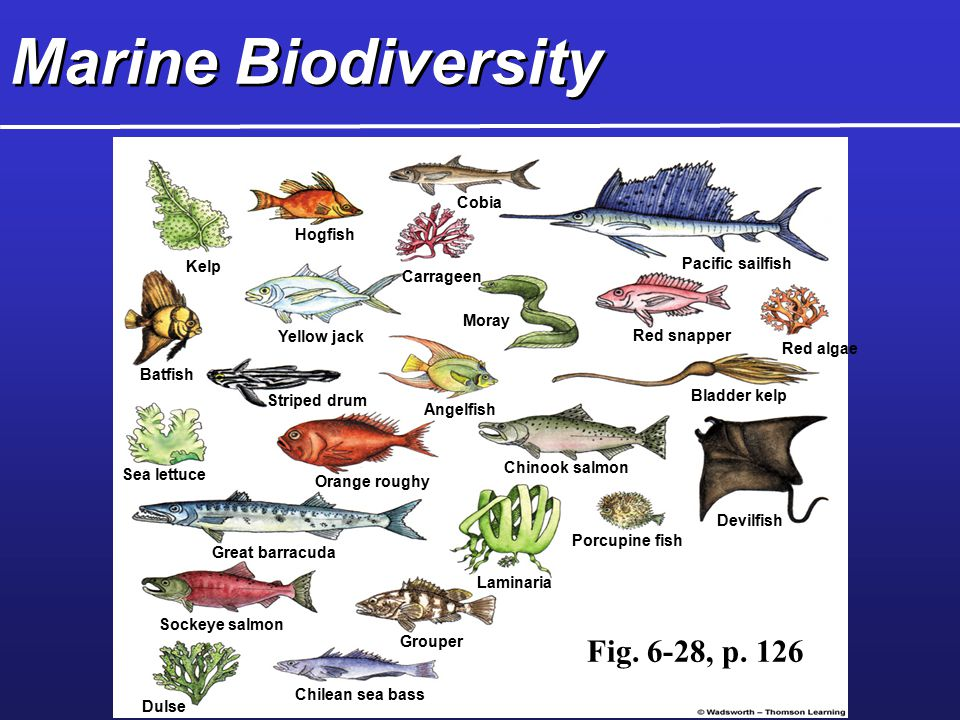 Marine Biodiversity Cobia Hogfish Kelp Carrageen Pacific sailfish Batfish Yellow jack Moray Red snapper Red algae Striped drum Angelfish Bladder kelp Sea lettuce Orange roughy Chinook salmon Great barracuda Porcupine fish Devilfish Laminaria Sockeye salmon Grouper Chilean sea bass Dulse Fig.
