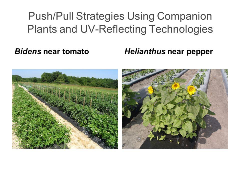 Push/Pull Strategies Using Companion Plants and UV-Reflecting Technologies Bidens near tomatoHelianthus near pepper
