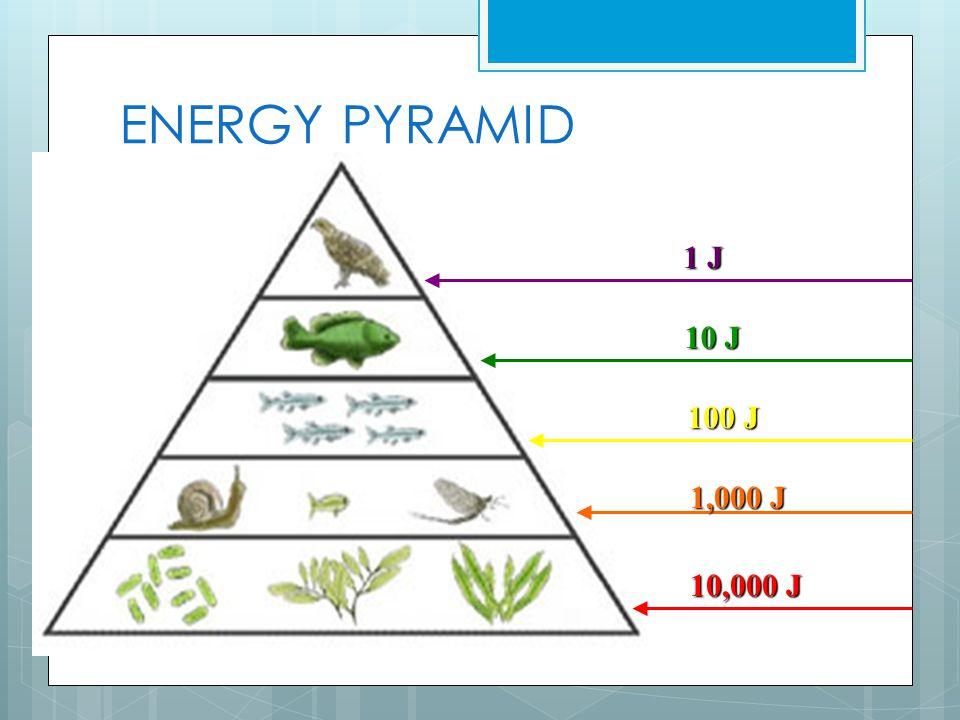 ENERGY PYRAMID 10,000 J 1,000 J 100 J 10 J 1 J