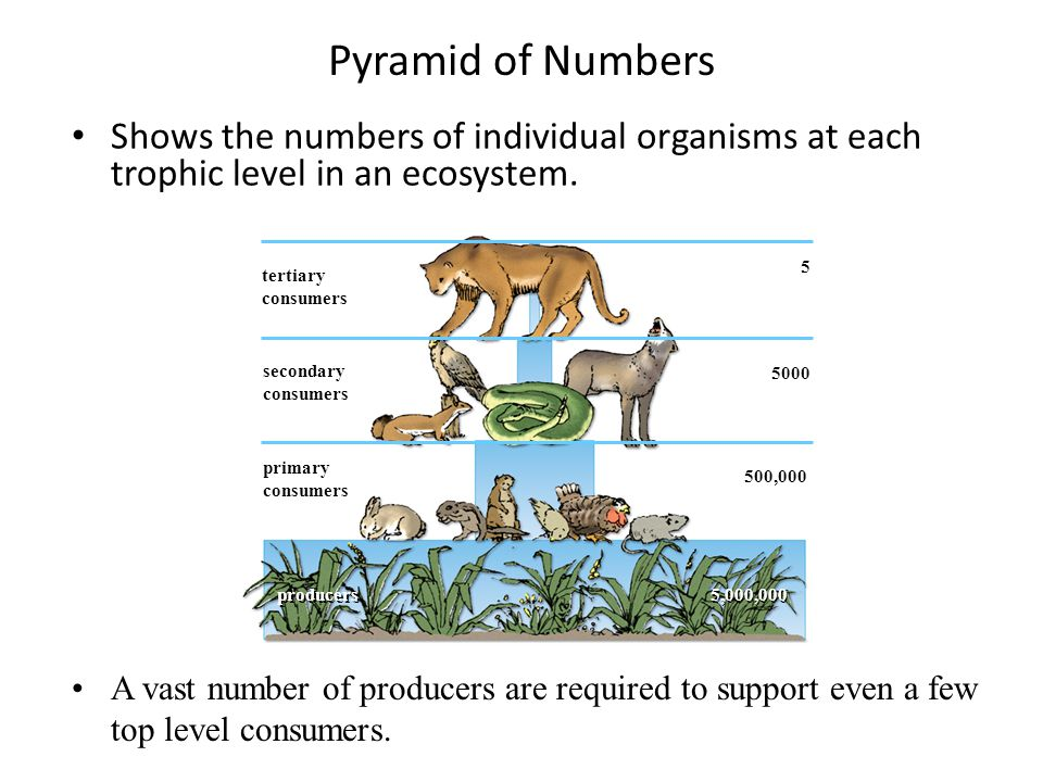 Pyramid of Numbers Shows the numbers of individual organisms at each trophic level in an ecosystem.