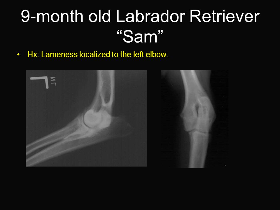 9-month old Labrador Retriever Sam Hx: Lameness localized to the left elbow.