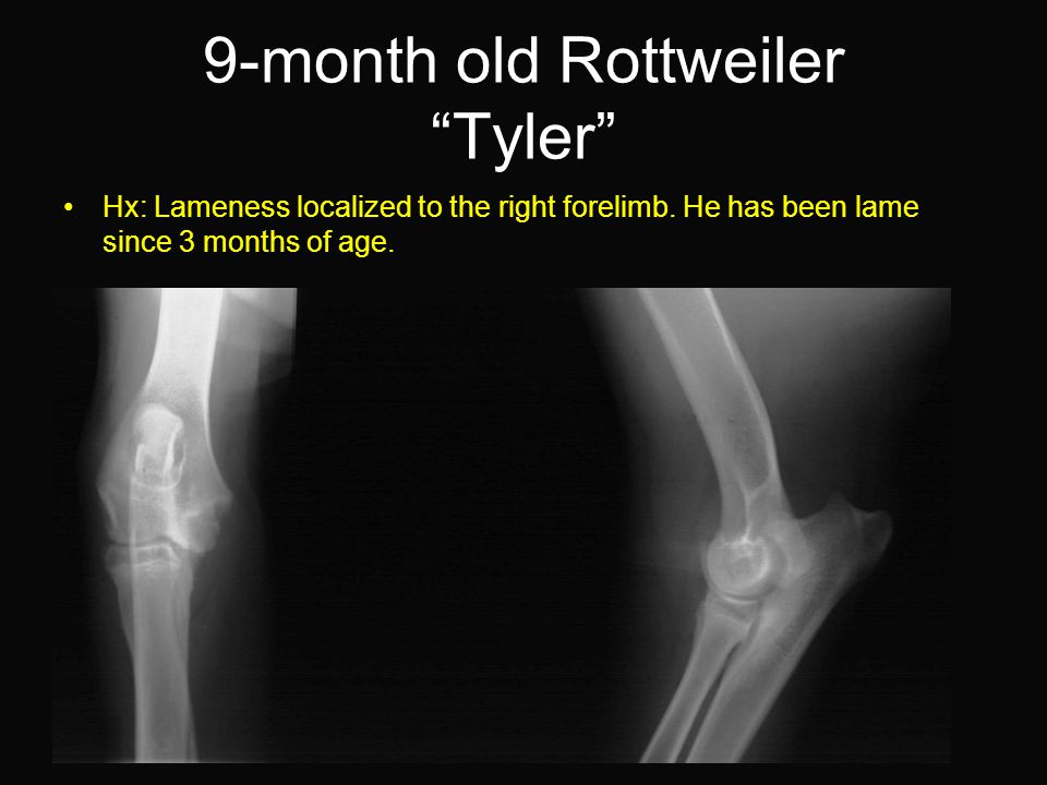 9-month old Rottweiler Tyler Hx: Lameness localized to the right forelimb.