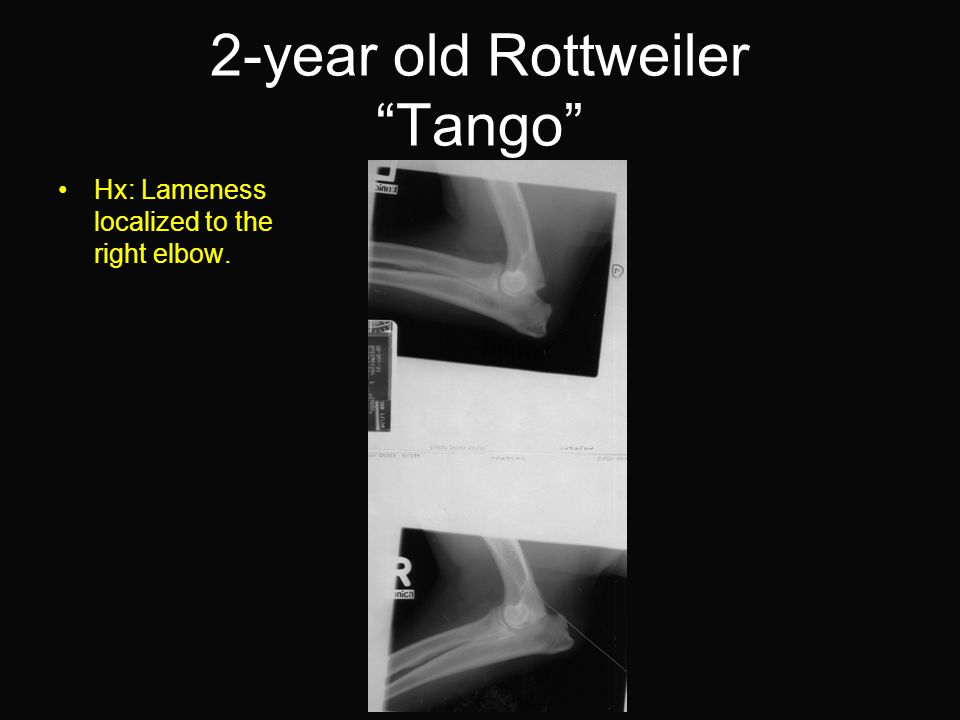 2-year old Rottweiler Tango Hx: Lameness localized to the right elbow.
